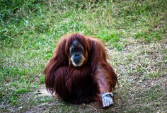 Orangutan . Orangutan sitting on the ground with outstretched hand Royalty Free Stock Image