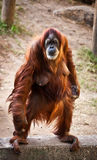 Orangutan . Portrait of an adult female orangutan standing on its hind legs Royalty Free Stock Images