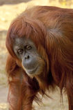 Orangutan. A cute adult Orangutan portret royalty free stock image