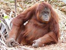 orangutan Стоковые Фотографии RF