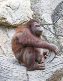 Orangutan. Royalty Free Stock Photography