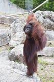 Orangutan. Royalty Free Stock Photography