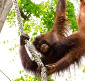 Orangutan. An orangutan hanging from ropes looking at us Stock Photo