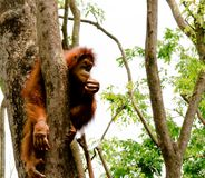 Orangutan. A lone orangutan sitting inbetween tree trunks eating Royalty Free Stock Photo