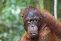 Orangutan. Portrait of an orangutan, Borneo, Malaysia stock photos