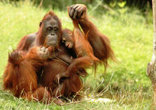 Orangutan 3. A mother orangutan playing with two children in the grass royalty free stock images
