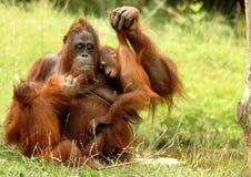 Orangutan 3 Royalty Free Stock Images
