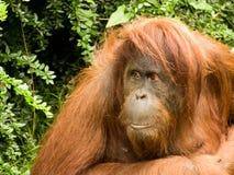 Orangutan. Portrait of a beautiful Orangutan Stock Images