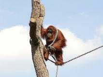 Orangutan. Playing with rope on a tree Royalty Free Stock Photo