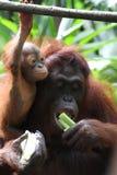 Orangutan Fotografia Stock Libera da Diritti