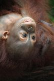 Orangutan Immagine Stock