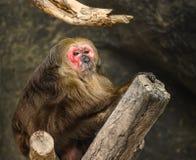 Orangutan. 1 Immagini Stock Libere da Diritti