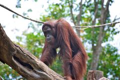 Orangutan Royalty Free Stock Image