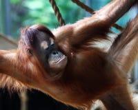 Orangutan. This orangutan mummy is looking at her nipple royalty free stock photos