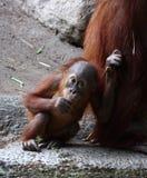 Orangutan. The baby orangutan with its mother stock photography