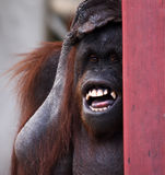The orangutan. With silly face Royalty Free Stock Photography