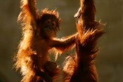 Orangutan Immagini Stock Libere da Diritti