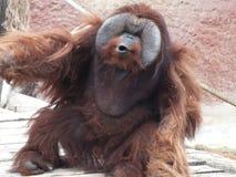 Orangutan4 Imágenes de archivo libres de regalías