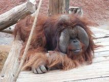 Orangutan2 Fotos de archivo libres de regalías