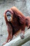 orangutan Obrazy Stock