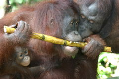 Orangutan. A mother and baby orangutan in Borneo encounter a young male Royalty Free Stock Photo
