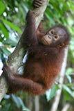 orangutan Стоковые Фото