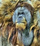 Orangutan αρχιεπισκόπων Στοκ Εικόνες
