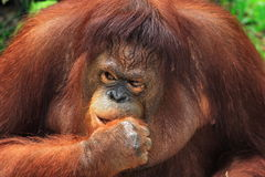 Orangutan. We took the picture of Orangutan in Kalimantan Indonesia. This animal has its original habitat in Kalimantan or Borneo withing Indonesia. It is royalty free stock images