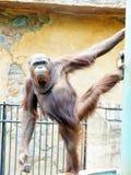 orangutan Arkivfoton