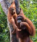 Orangutan, Stock Image