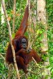 orangutan Στοκ Εικόνα