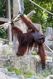 orangutan Στοκ Φωτογραφία