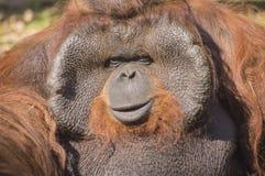orangutan Fotografia Royalty Free