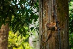 Orangutan μωρών Στοκ Φωτογραφία