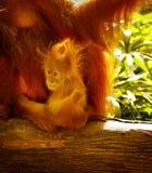 orangutan Zdjęcie Stock