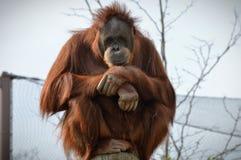Free Orangutan Stock Photo - 80451180