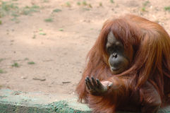 Orangutan. Ask for food charity royalty free stock photos