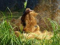 orangutan Στοκ εικόνα με δικαίωμα ελεύθερης χρήσης