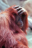 Orangutan. With hand  covering his head Royalty Free Stock Images
