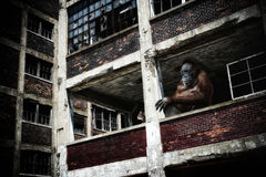 Orangutan in Abandoned Building Royalty Free Stock Photos