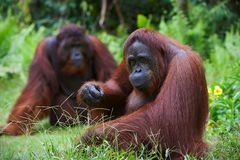 Orangutan adult female. Royalty Free Stock Image