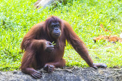Orangutan. Adult in Sumatra, Indonesia Royalty Free Stock Image