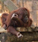 Orangutan al giardino zoologico Fotografia Stock Libera da Diritti