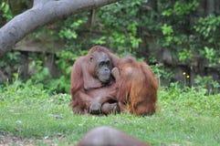 Orangutan al giardino zoologico di Dublino Fotografie Stock Libere da Diritti