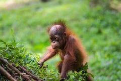 Orangutan allegro del bambino Fotografia Stock Libera da Diritti