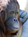 Orangutan or ape chilling in the sun looking unhappy. Full face photograph with bright eyes royalty free stock photos