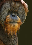Orangutan With Attitude Royalty Free Stock Images