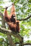 Orangutan and babies. Bornean Orangutan (Pongo pygmaeus) on a tree with her two babies Stock Image