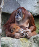 Orangutan with baby Stock Image