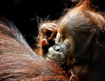 Orangutan baby Royalty Free Stock Photography